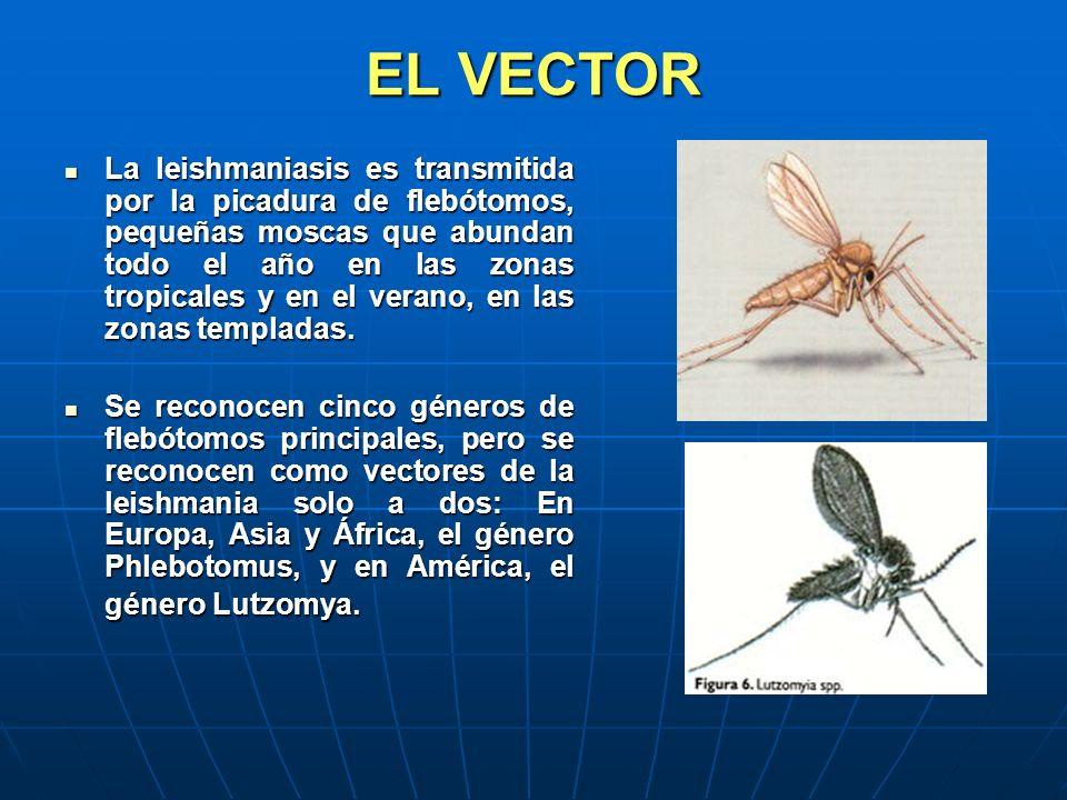 EL VECTOR La leishmaniasis es transmitida por la picadura de flebótomos, pequeñas moscas que abundan todo el año en las zonas tropicales y en el veran