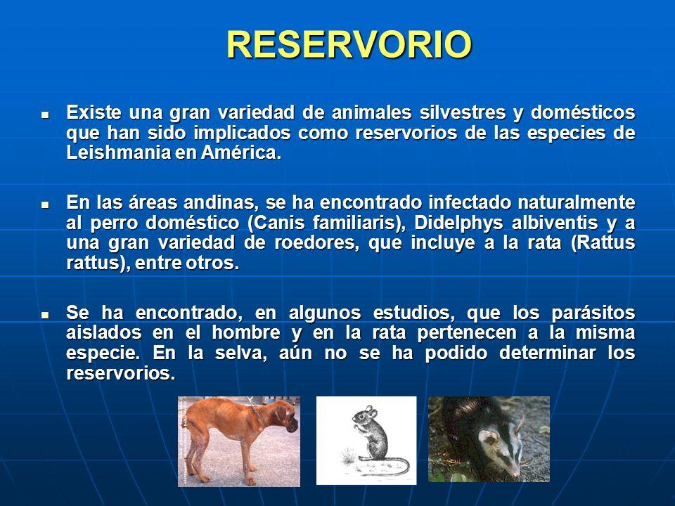 RESERVORIO Existe una gran variedad de animales silvestres y domésticos que han sido implicados como reservorios de las especies de Leishmania en Amér