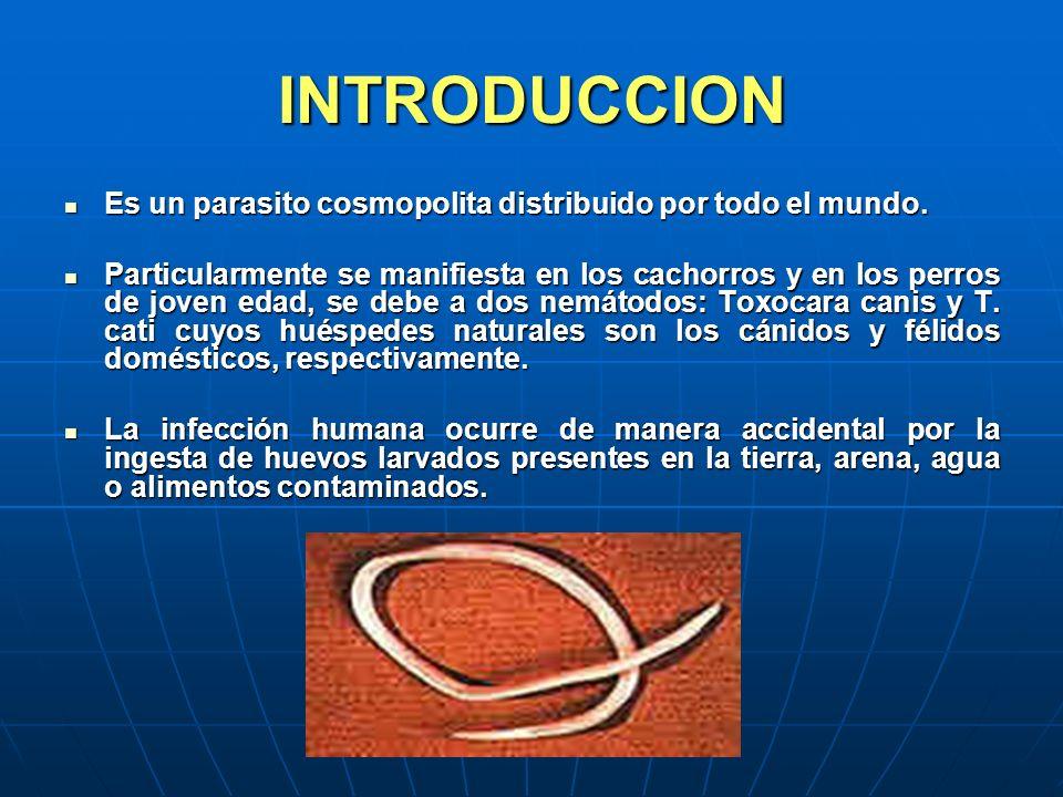 INTRODUCCION Es un parasito cosmopolita distribuido por todo el mundo. Es un parasito cosmopolita distribuido por todo el mundo. Particularmente se ma