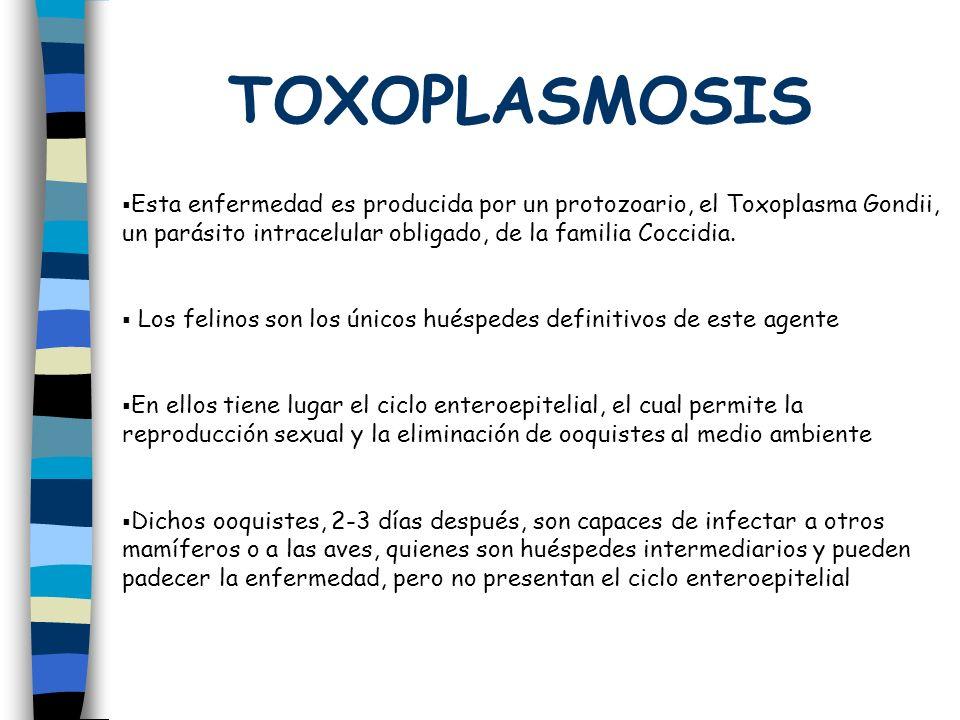 TOXOPLASMOSIS Esta enfermedad es producida por un protozoario, el Toxoplasma Gondii, un parásito intracelular obligado, de la familia Coccidia. Los fe
