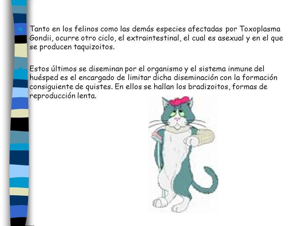 Tanto en los felinos como las demás especies afectadas por Toxoplasma Gondii, ocurre otro ciclo, el extraintestinal, el cual es asexual y en el que se