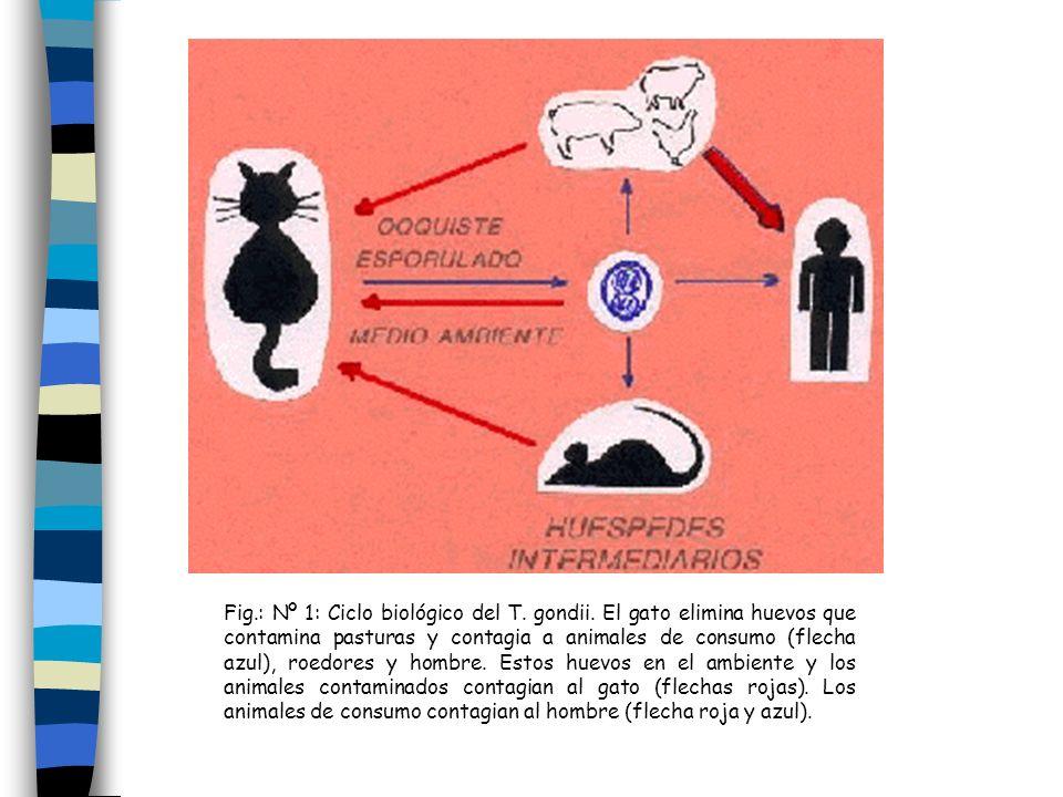 Fig.: Nº 1: Ciclo biológico del T. gondii. El gato elimina huevos que contamina pasturas y contagia a animales de consumo (flecha azul), roedores y ho