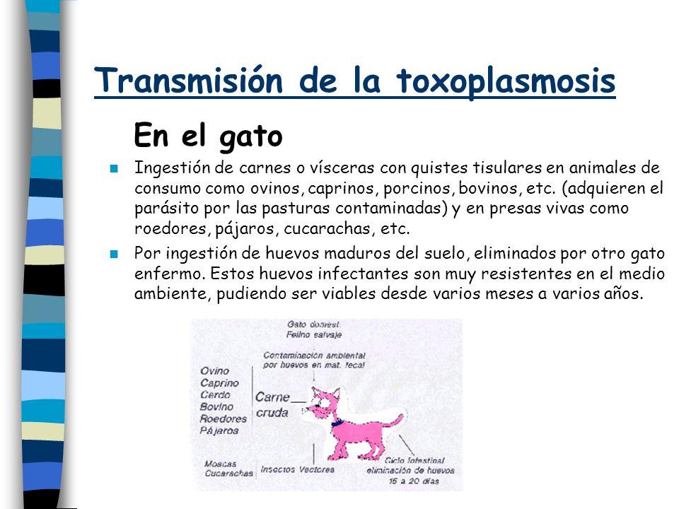 Transmisión de la toxoplasmosis En el gato Ingestión de carnes o vísceras con quistes tisulares en animales de consumo como ovinos, caprinos, porcinos