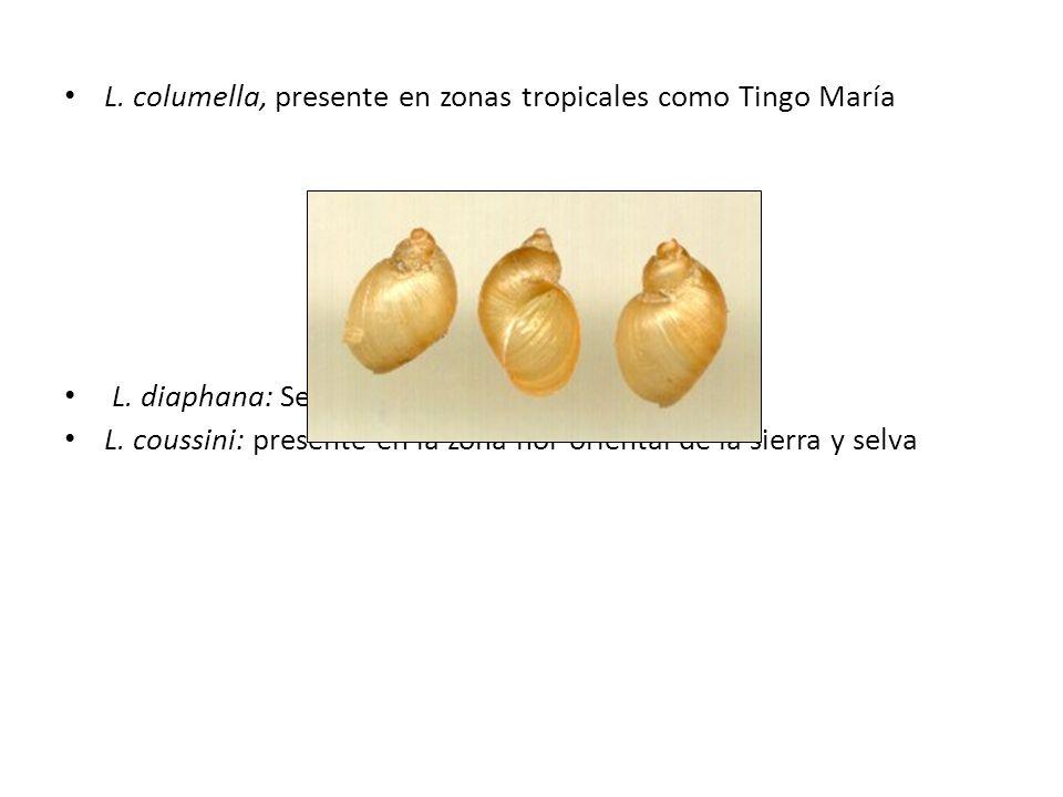 L. columella, presente en zonas tropicales como Tingo María L. diaphana: Se encuentra en los andes. L. coussini: presente en la zona nor oriental de l