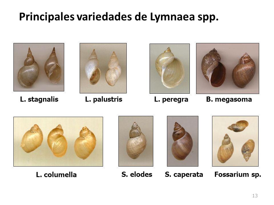 13 Principales variedades de Lymnaea spp. L. stagnalisL. palustrisL. peregraB. megasoma L. columella S. elodesS. caperataFossarium sp.