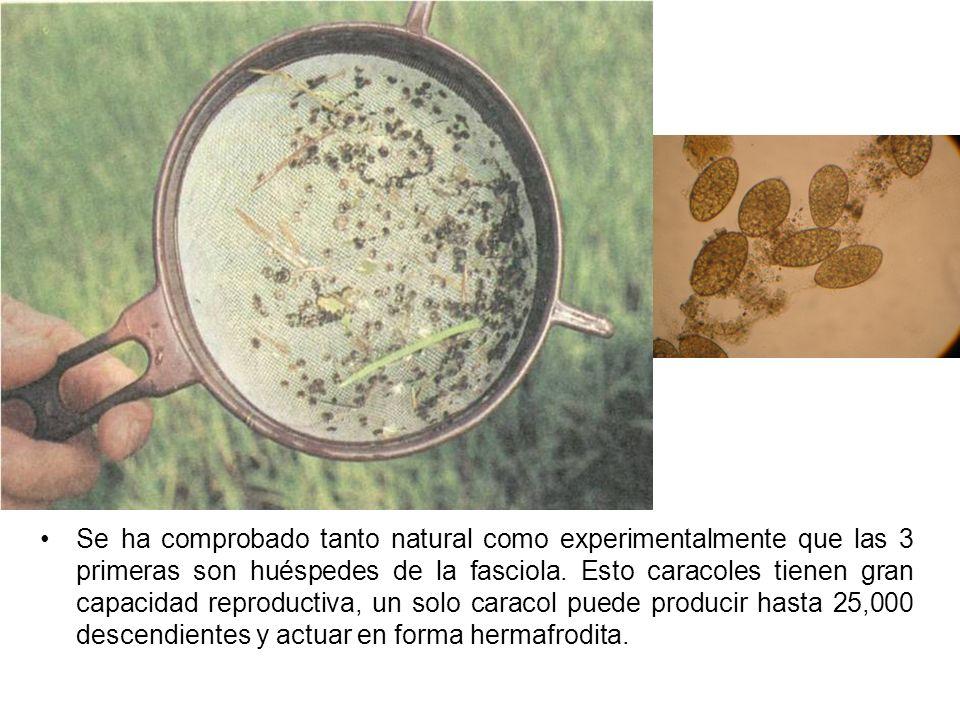 Se ha comprobado tanto natural como experimentalmente que las 3 primeras son huéspedes de la fasciola. Esto caracoles tienen gran capacidad reproducti