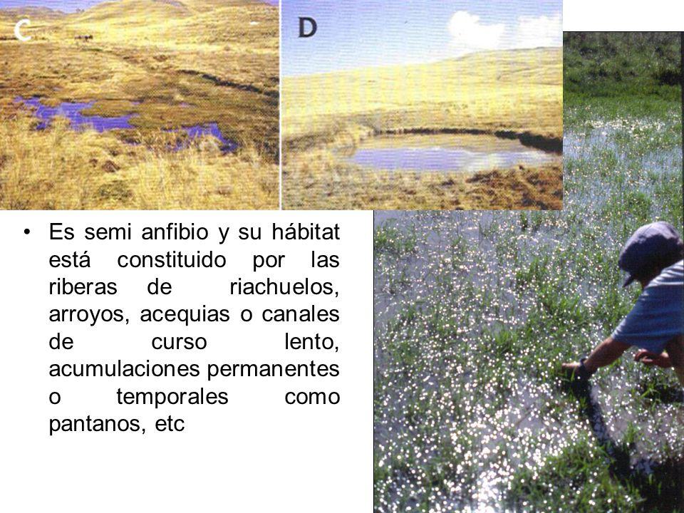 Es semi anfibio y su hábitat está constituido por las riberas de riachuelos, arroyos, acequias o canales de curso lento, acumulaciones permanentes o t