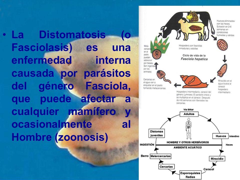 La Distomatosis (o Fasciolasis) es una enfermedad interna causada por parásitos del género Fasciola, que puede afectar a cualquier mamífero y ocasiona