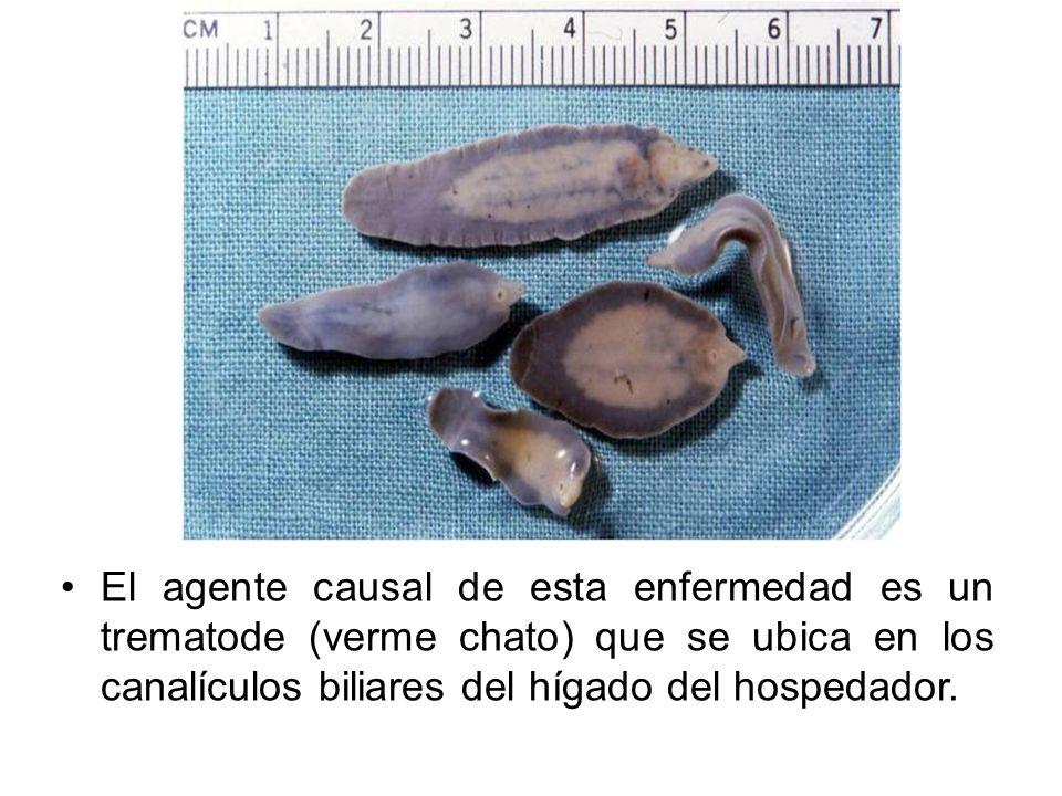 Fasciola hepatica, conocido también popularmente en nuestro medio con los nombres de alicuya, gusano del hígado, duela del hígado, jallo jallo, ccallutaca, distoma, saguaype, palomilla del hígado, babosa o lenguasa.