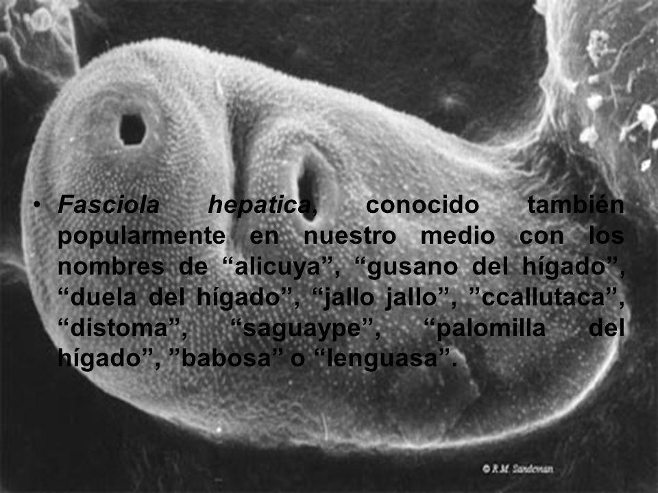 Fasciola hepatica, conocido también popularmente en nuestro medio con los nombres de alicuya, gusano del hígado, duela del hígado, jallo jallo, ccallu