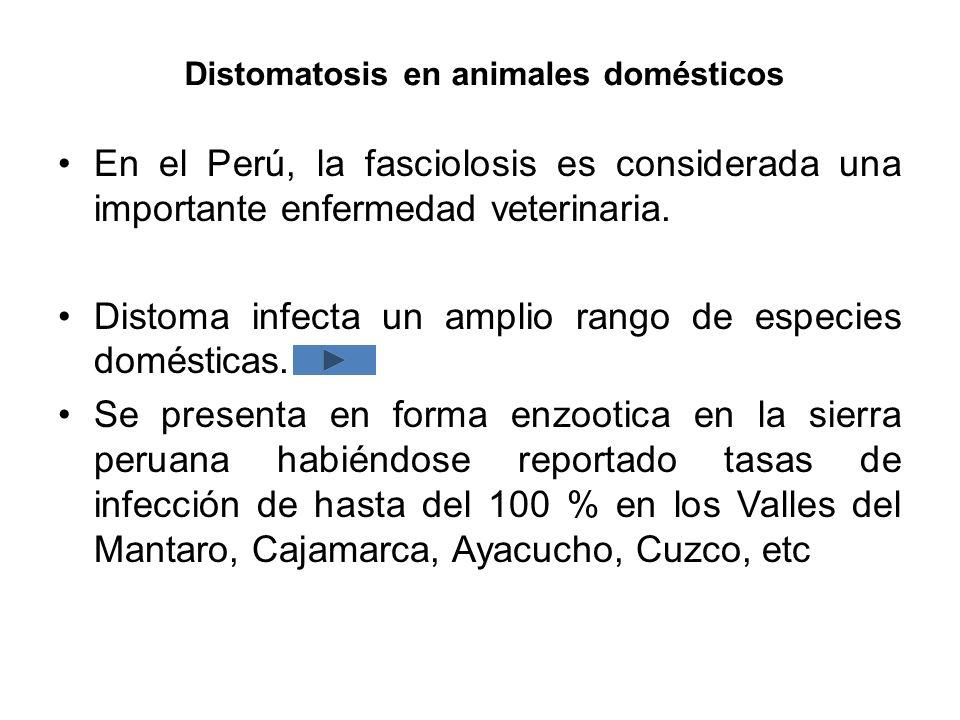 Distomatosis en animales domésticos En el Perú, la fasciolosis es considerada una importante enfermedad veterinaria. Distoma infecta un amplio rango d