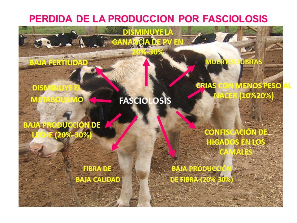 PERDIDA DE LA PRODUCCION POR FASCIOLOSIS DISMINUYE LA GANANCIA DE PV EN 20%-30% BAJA FERTILIDAD FASCIOLOSIS DISMINUYE EL METABOLISMO BAJA PRODUCCIÓN D