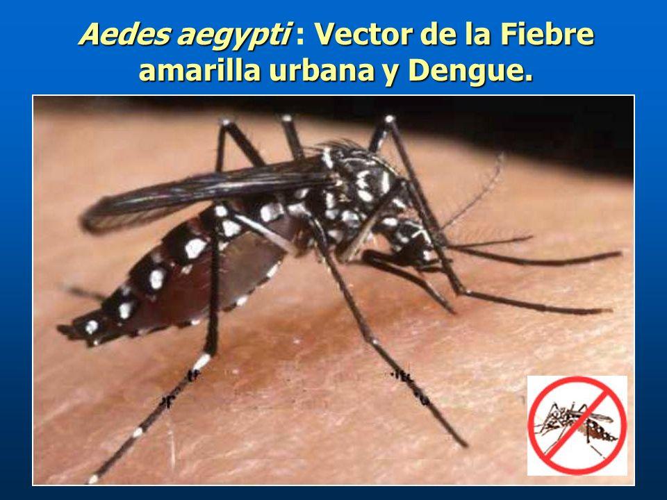 Aedes aegyptiVector de la Fiebre amarilla urbana y Dengue.