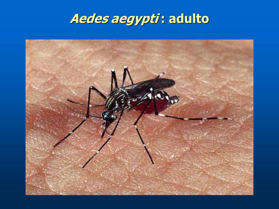 El adulto Es la fase reproductora del Aedes aegypti. Es la fase reproductora del Aedes aegypti. Las hembras se distinguen de los anofelinos por tener