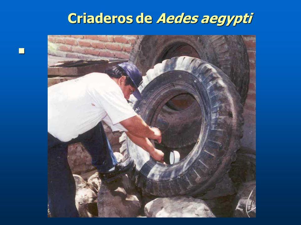 Criaderos de Aedes aegypti Criaderos de Aedes aegypti