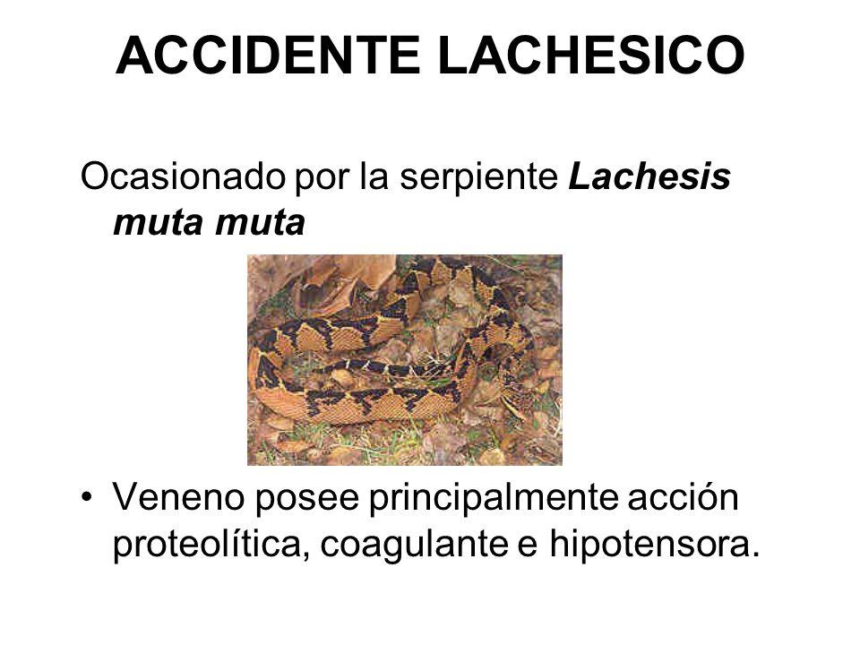 ACCIDENTE LACHESICO Ocasionado por la serpiente Lachesis muta muta Veneno posee principalmente acción proteolítica, coagulante e hipotensora.