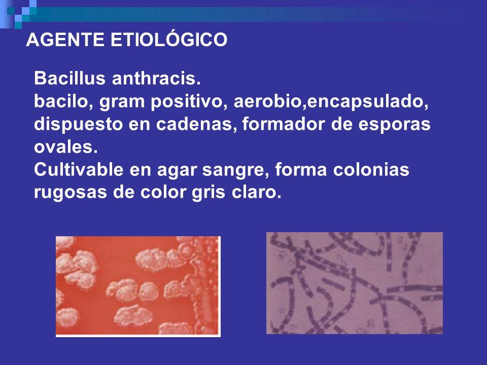 AGENTE ETIOLÓGICO Bacillus anthracis. bacilo, gram positivo, aerobio,encapsulado, dispuesto en cadenas, formador de esporas ovales. Cultivable en agar
