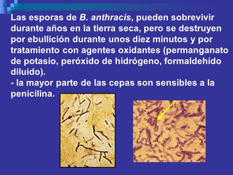 Las esporas de B. anthracis, pueden sobrevivir durante años en la tierra seca, pero se destruyen por ebullición durante unos diez minutos y por tratam