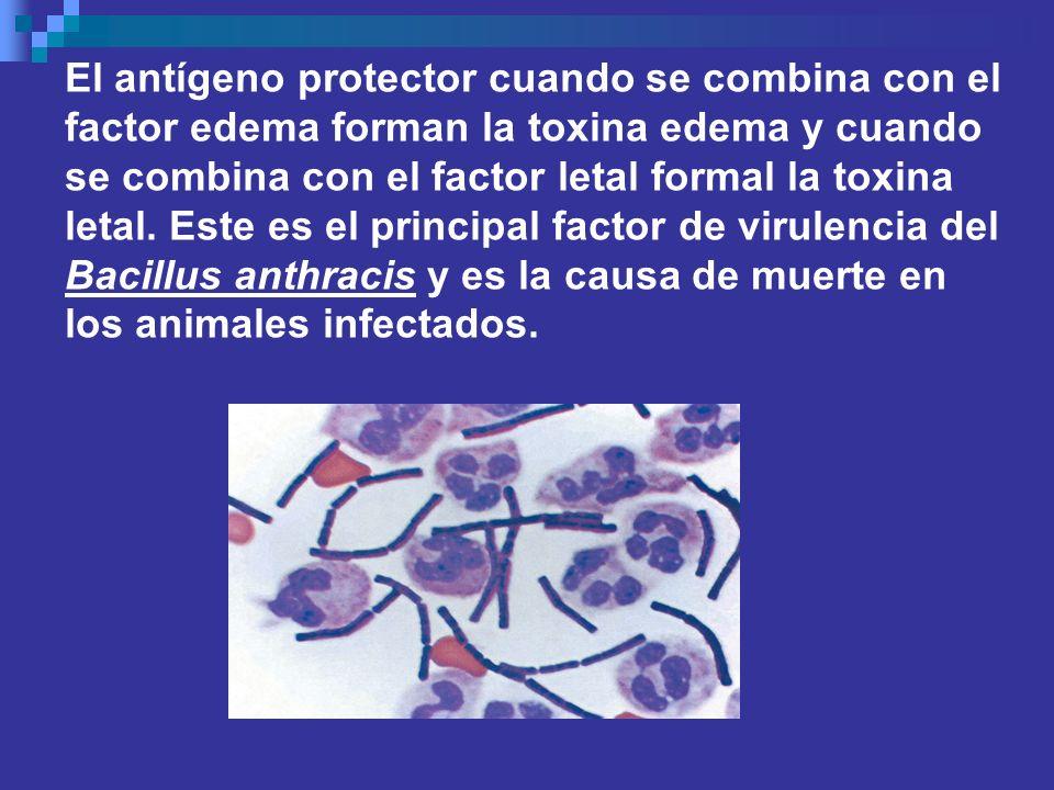 El antígeno protector cuando se combina con el factor edema forman la toxina edema y cuando se combina con el factor letal formal la toxina letal. Est