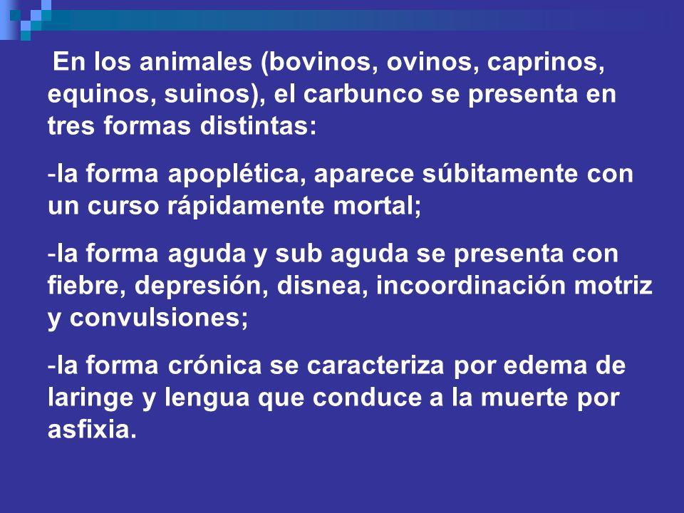 En los animales (bovinos, ovinos, caprinos, equinos, suinos), el carbunco se presenta en tres formas distintas: -la forma apoplética, aparece súbitame