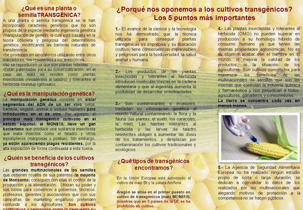 ¿Qué es una planta o semillaTRANSGÉNICA? A una planta o semilla transgénica se le han incorporado caracteres genéticos que no son propios de la especi