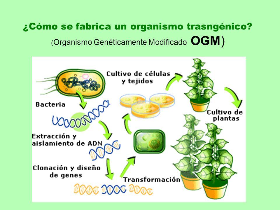 ¿Cómo se fabrica un organismo trasngénico? ( Organismo Genéticamente Modificado OGM)