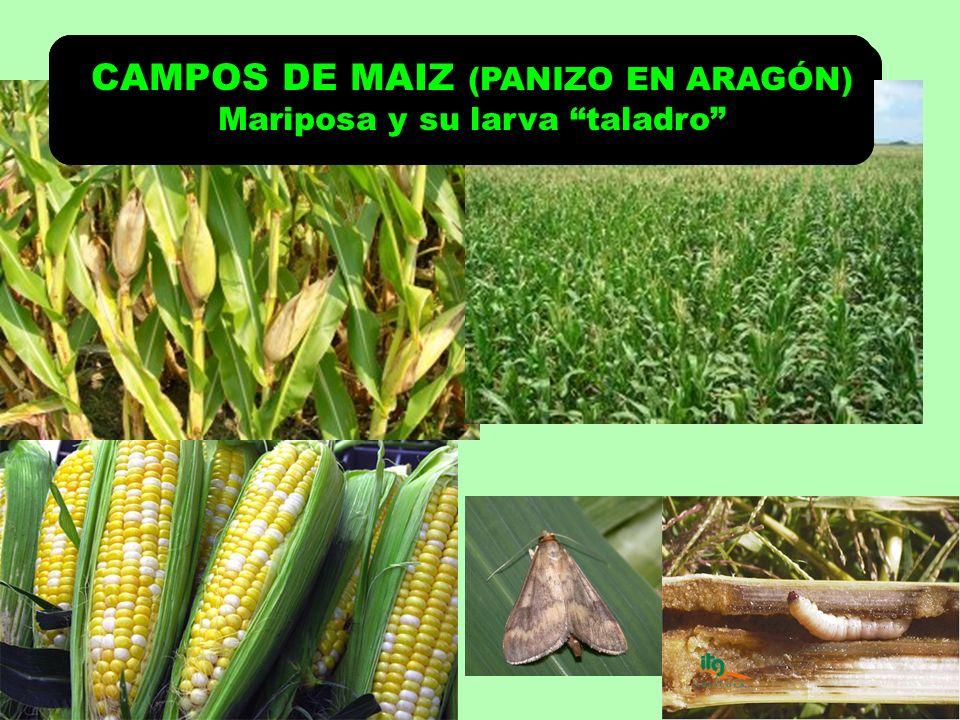 CAMPOS DE MAIZ (PANIZO EN ARAGÓN) Mariposa y su larva taladro CAMPOS DE MAIZ (PANIZO EN ARAGÓN) Mariposa y su larva taladro CAMPOS DE MAIZ (PANIZO EN