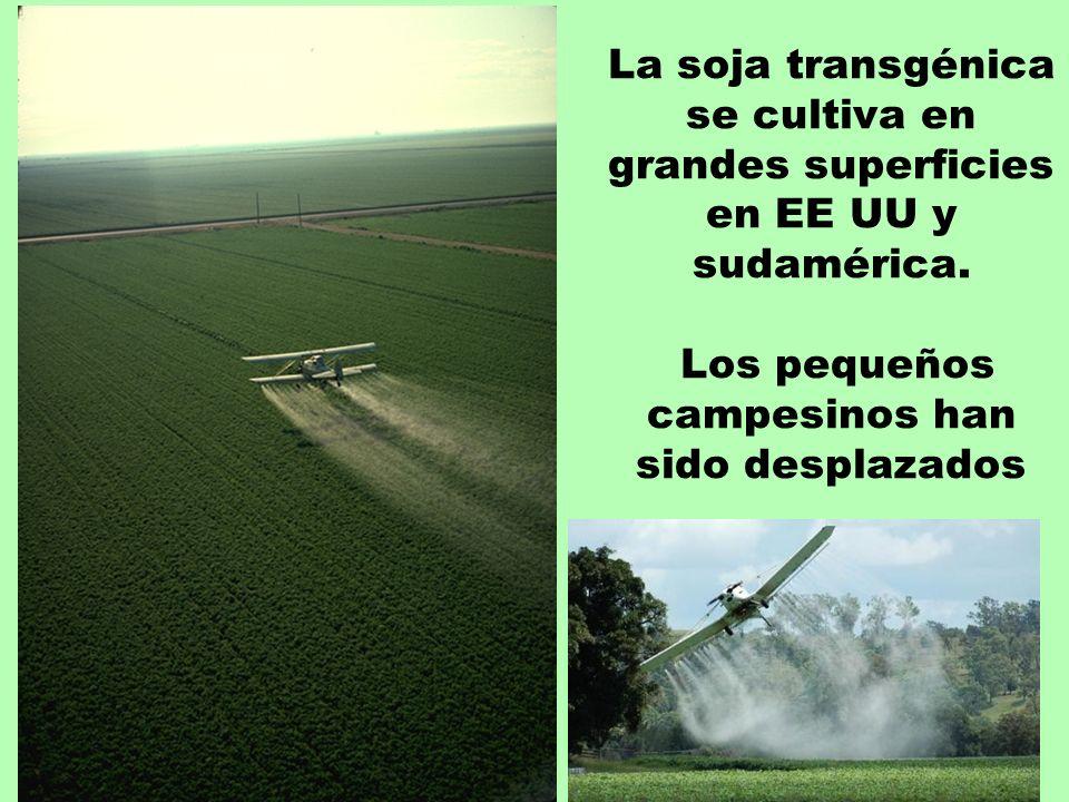 La soja transgénica se cultiva en grandes superficies en EE UU y sudamérica. Los pequeños campesinos han sido desplazados