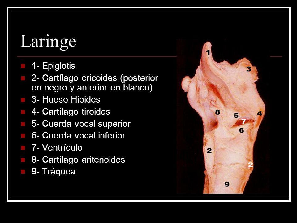 1- Epiglotis 2- Cartílago cricoides (posterior en negro y anterior en blanco) 3- Hueso Hioides 4- Cartílago tiroides 5- Cuerda vocal superior 6- Cuerda vocal inferior 7- Ventrículo 8- Cartílago aritenoides 9- Tráquea