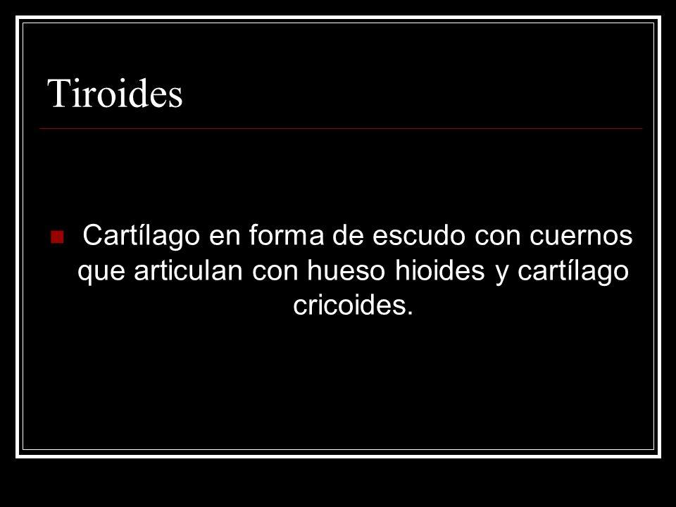 Tiroides Cartílago en forma de escudo con cuernos que articulan con hueso hioides y cartílago cricoides.
