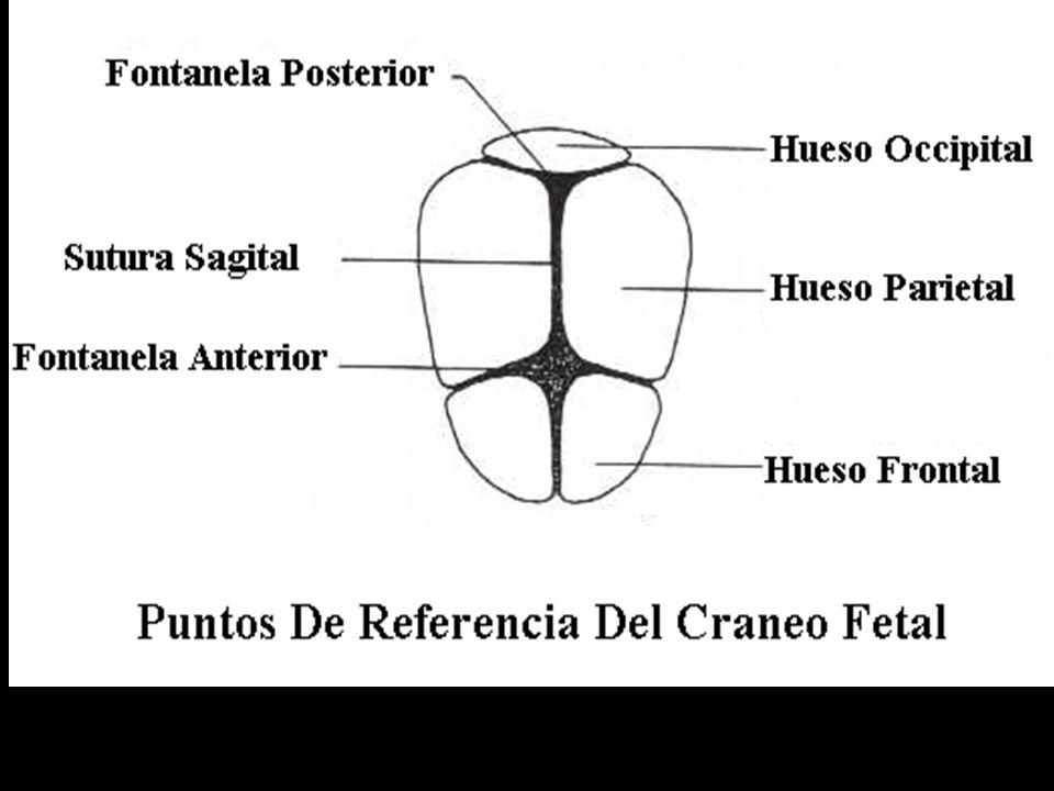 Antropometría Fetal.DIAMETROS ANTEROPOSTERIORES Y PERIMETROS DE LA CABEZA: 1.