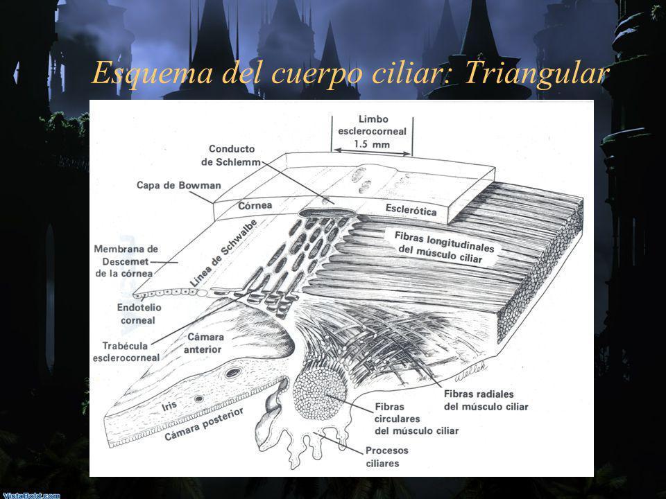 Esquema del cuerpo ciliar: Triangular