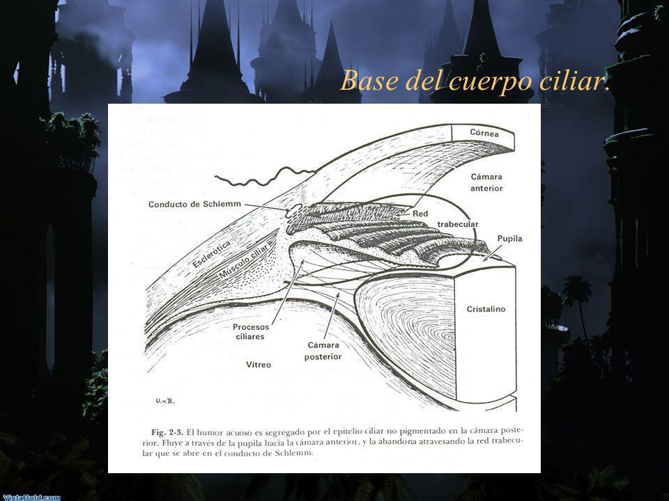 Base del cuerpo ciliar.