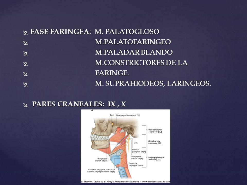 FASE FARINGEA: M. PALATOGLOSO FASE FARINGEA: M. PALATOGLOSO M.PALATOFARINGEO M.PALATOFARINGEO M.PALADAR BLANDO M.PALADAR BLANDO M.CONSTRICTORES DE LA