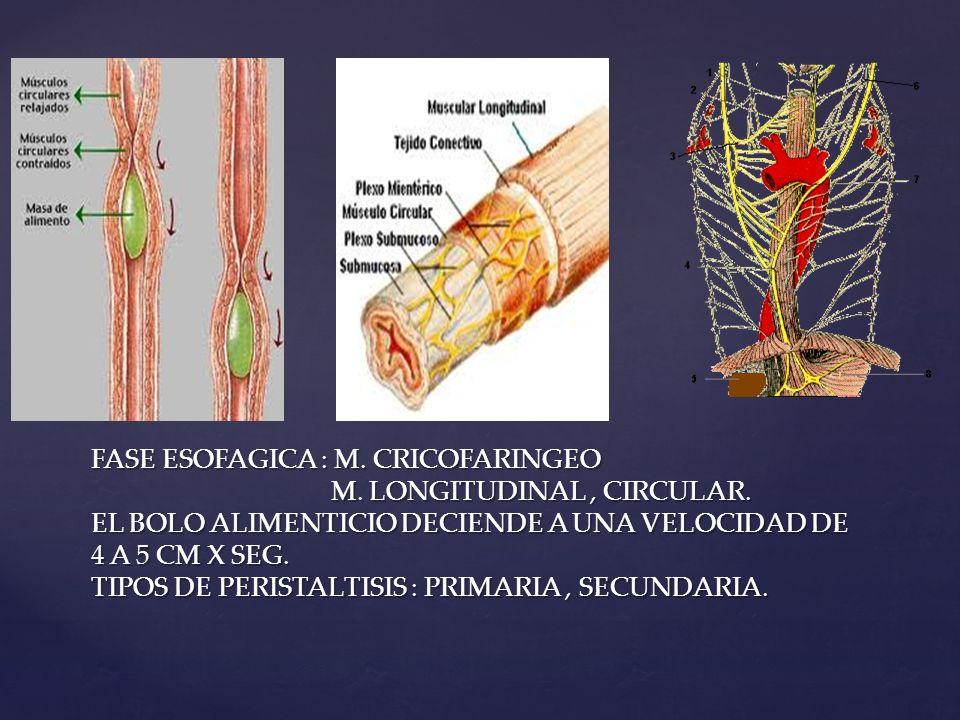 FASE ESOFAGICA : M. CRICOFARINGEO M. LONGITUDINAL, CIRCULAR. EL BOLO ALIMENTICIO DECIENDE A UNA VELOCIDAD DE 4 A 5 CM X SEG. TIPOS DE PERISTALTISIS :