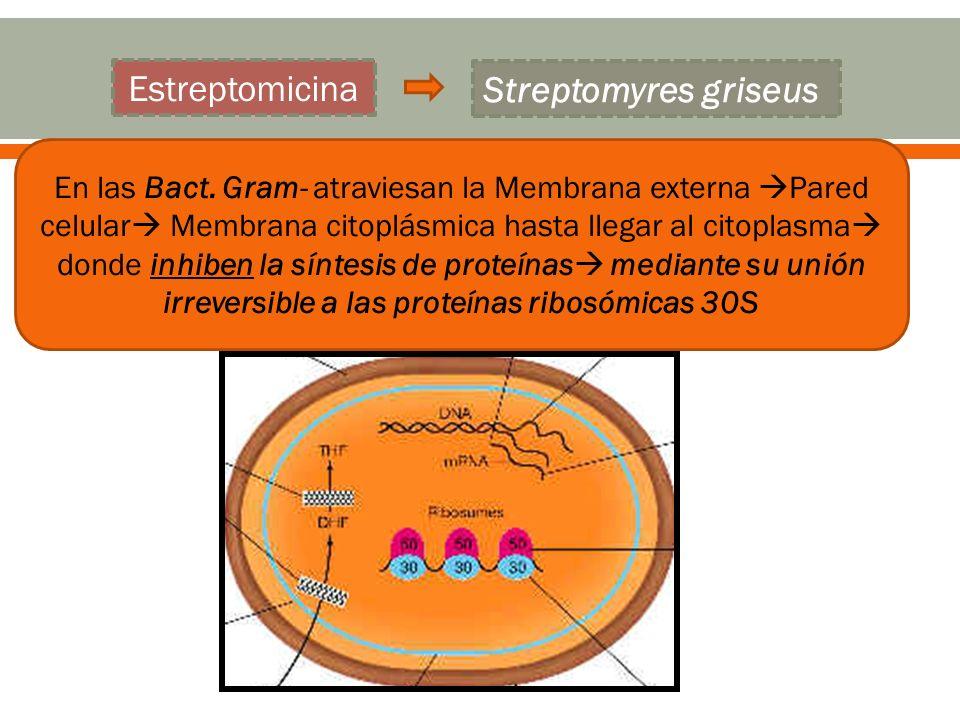 En las Bact. Gram- atraviesan la Membrana externa Pared celular Membrana citoplásmica hasta llegar al citoplasma donde inhiben la síntesis de proteína