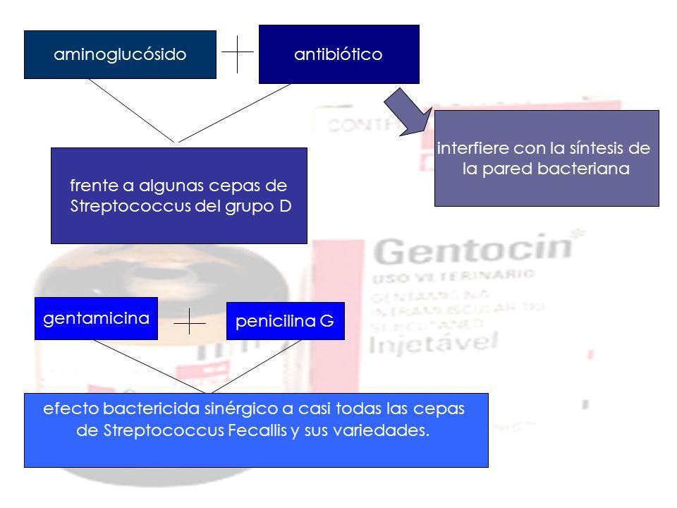aminoglucósido antibiótico interfiere con la síntesis de la pared bacteriana frente a algunas cepas de Streptococcus del grupo D gentamicina penicilin