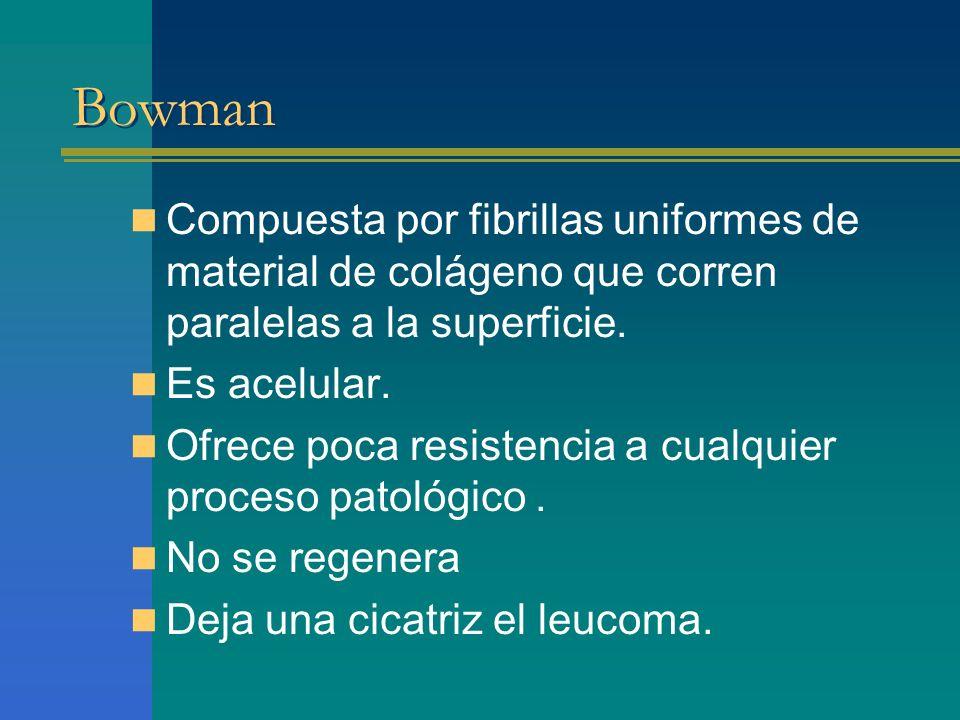 Bowman Compuesta por fibrillas uniformes de material de colágeno que corren paralelas a la superficie. Es acelular. Ofrece poca resistencia a cualquie