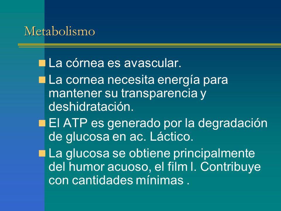 Metabolismo La córnea es avascular. La cornea necesita energía para mantener su transparencia y deshidratación. El ATP es generado por la degradación