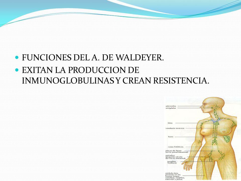 FUNCIONES DEL A. DE WALDEYER. EXITAN LA PRODUCCION DE INMUNOGLOBULINAS Y CREAN RESISTENCIA.