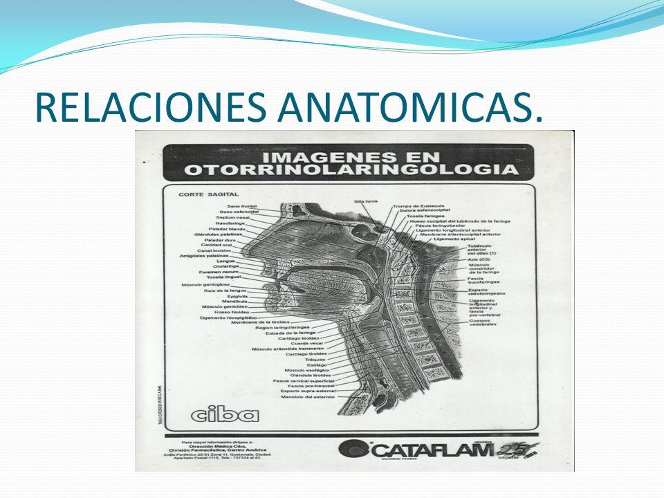 RELACIONES ANATOMICAS.