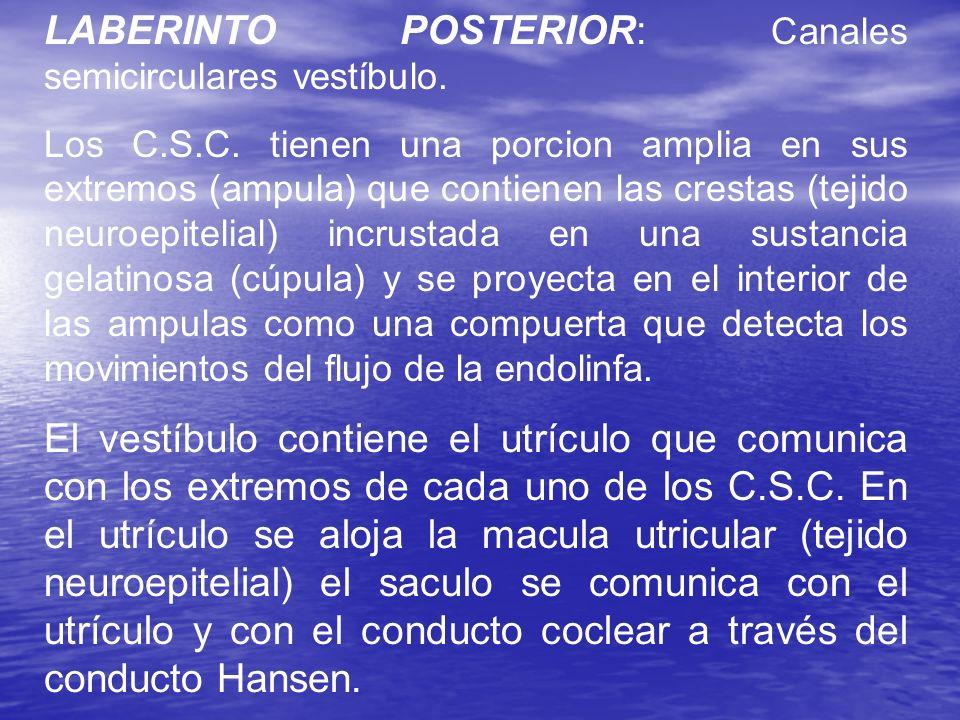 LABERINTO POSTERIOR: Canales semicirculares vestíbulo. Los C.S.C. tienen una porcion amplia en sus extremos (ampula) que contienen las crestas (tejido
