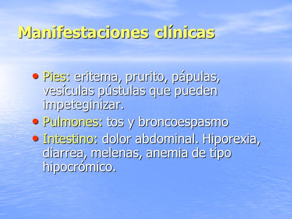 Manifestaciones clínicas Pies: eritema, prurito, pápulas, vesículas pústulas que pueden impeteginizar. Pies: eritema, prurito, pápulas, vesículas púst