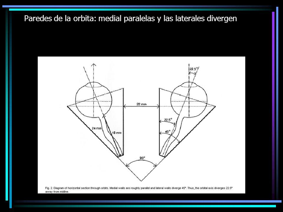 Paredes de la orbita: medial paralelas y las laterales divergen