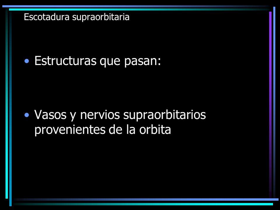 Escotadura supraorbitaria Estructuras que pasan: Vasos y nervios supraorbitarios provenientes de la orbita