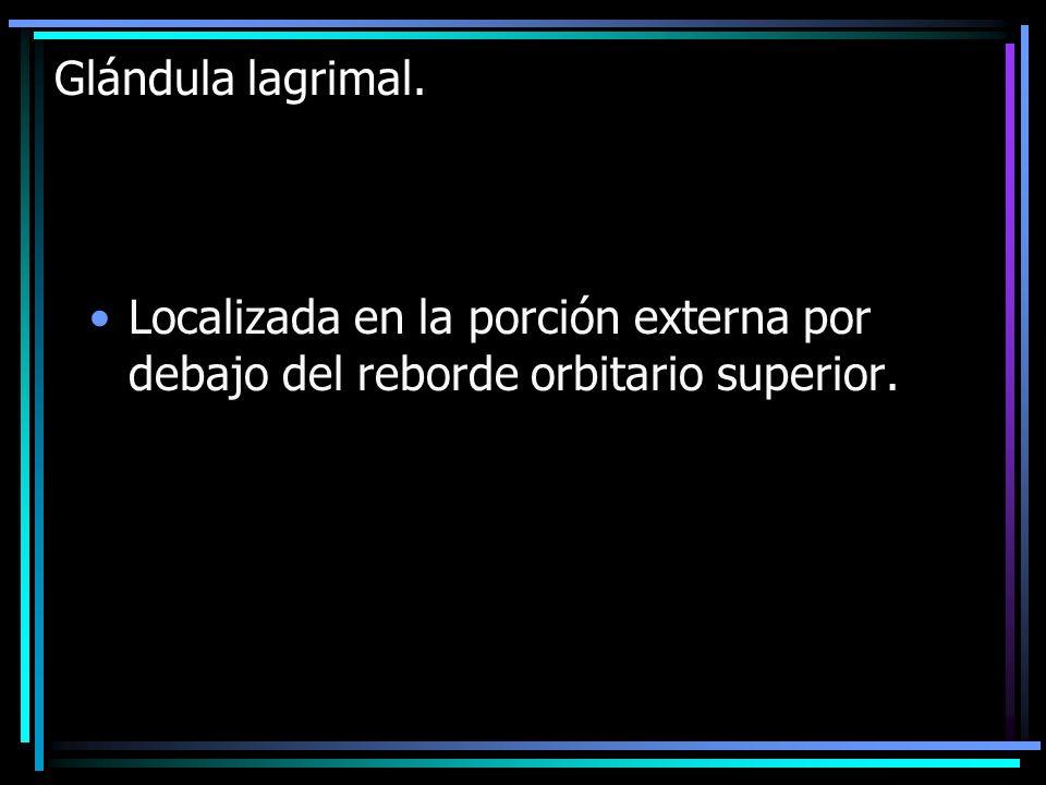 Glándula lagrimal. Localizada en la porción externa por debajo del reborde orbitario superior.