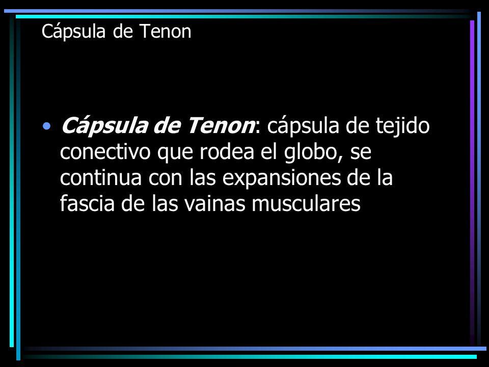 Cápsula de Tenon Cápsula de Tenon: cápsula de tejido conectivo que rodea el globo, se continua con las expansiones de la fascia de las vainas muscular