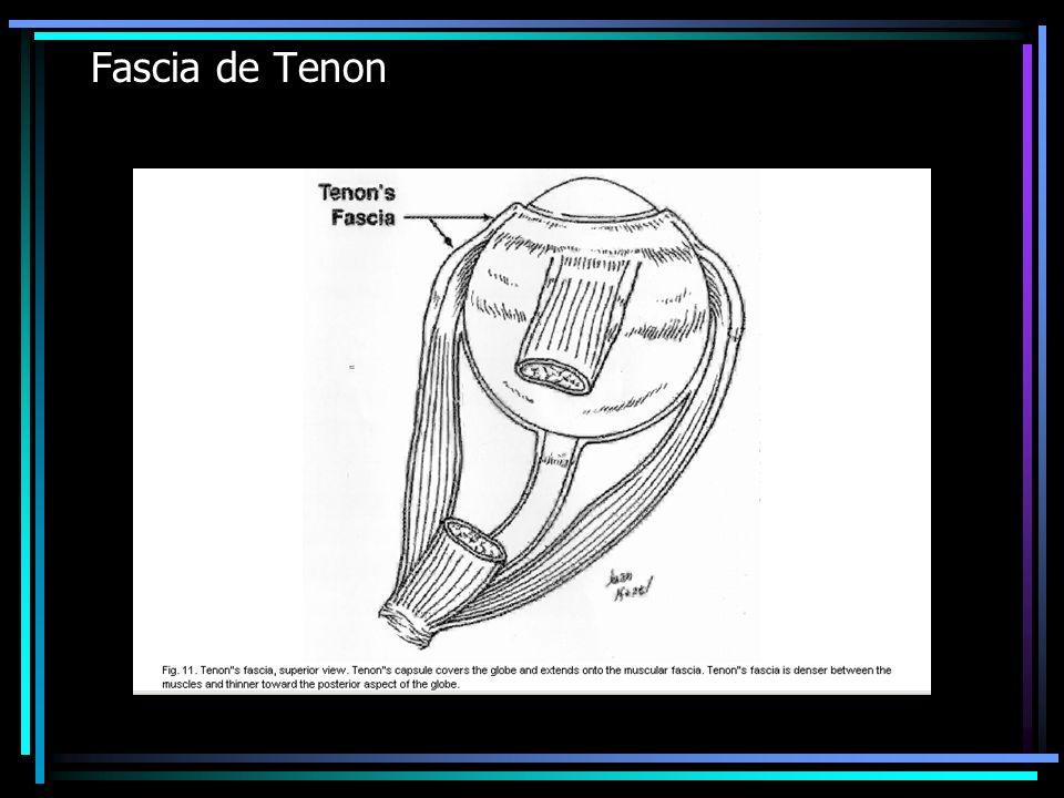 Fascia de Tenon