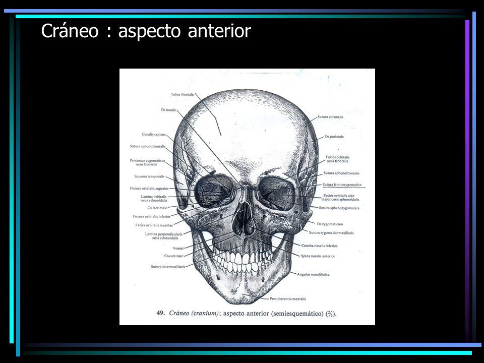 Cráneo : aspecto anterior