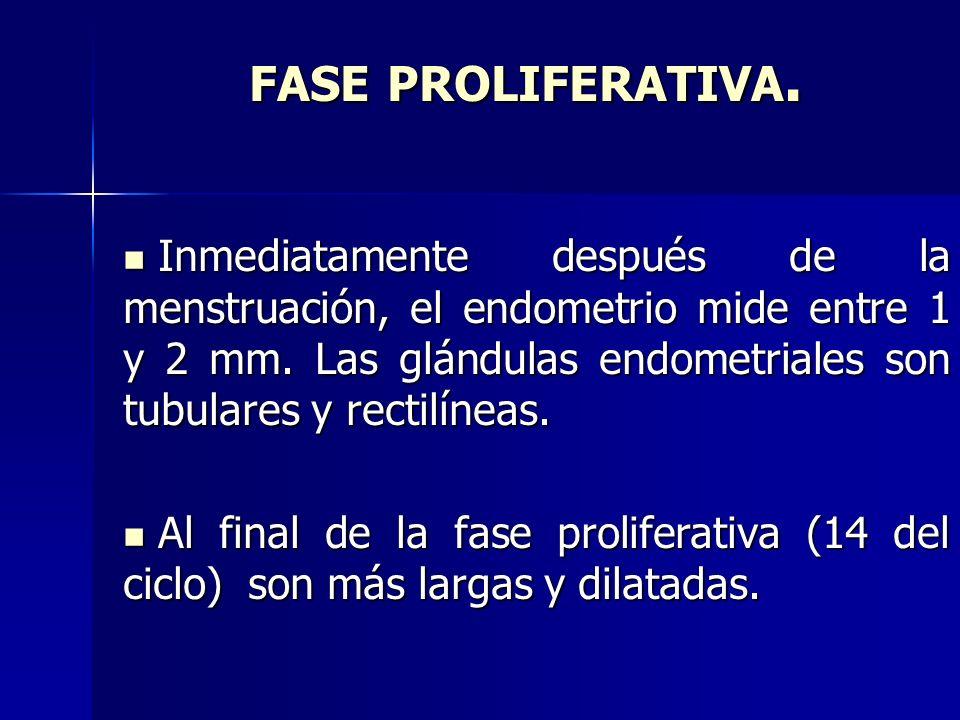 FASE PROLIFERATIVA. Inmediatamente después de la menstruación, el endometrio mide entre 1 y 2 mm. Las glándulas endometriales son tubulares y rectilín
